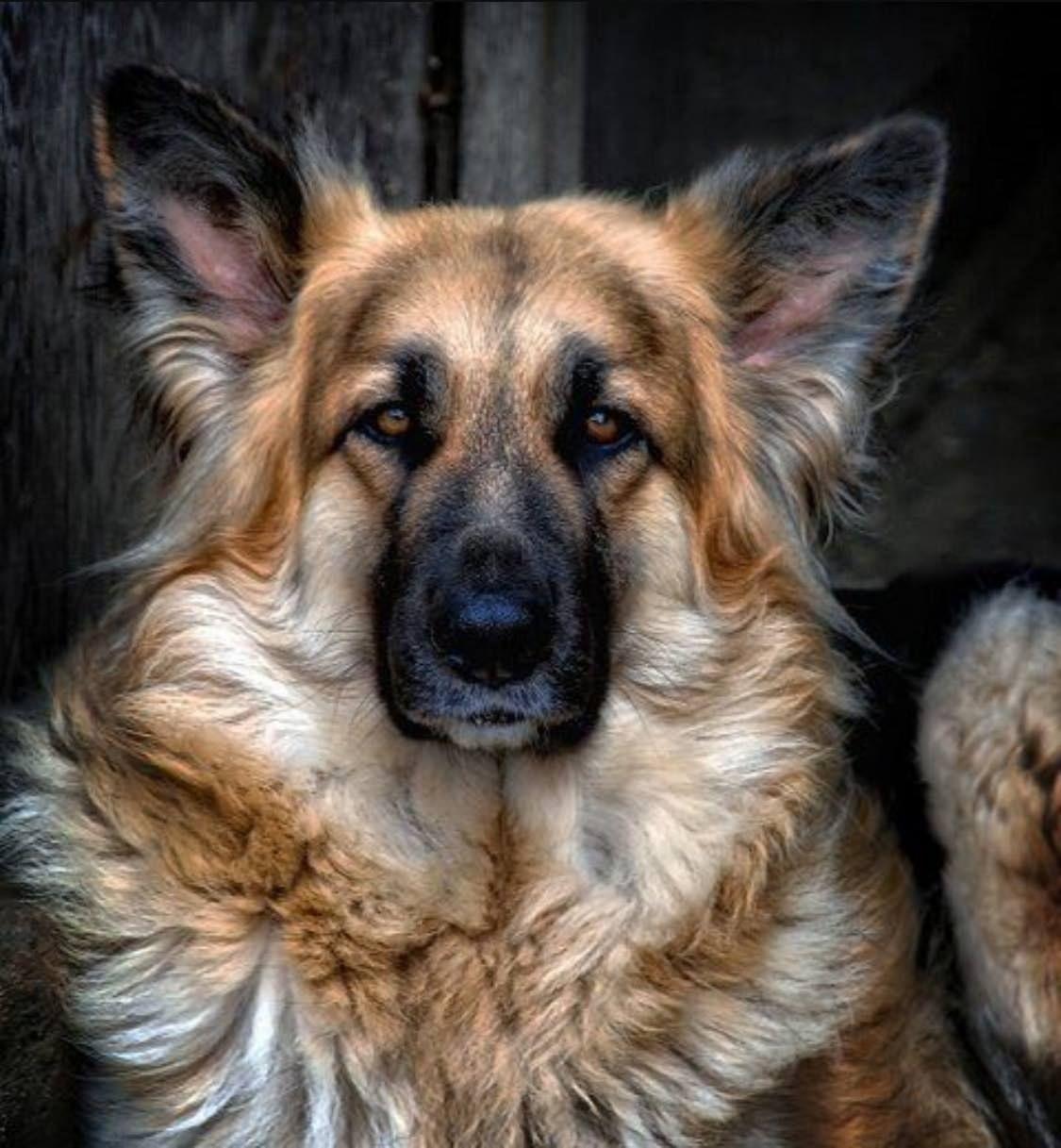I'd pet me. I'd pet me so hard, right now. - Album on Imgur #dogsandpuppiesgermanshepherd