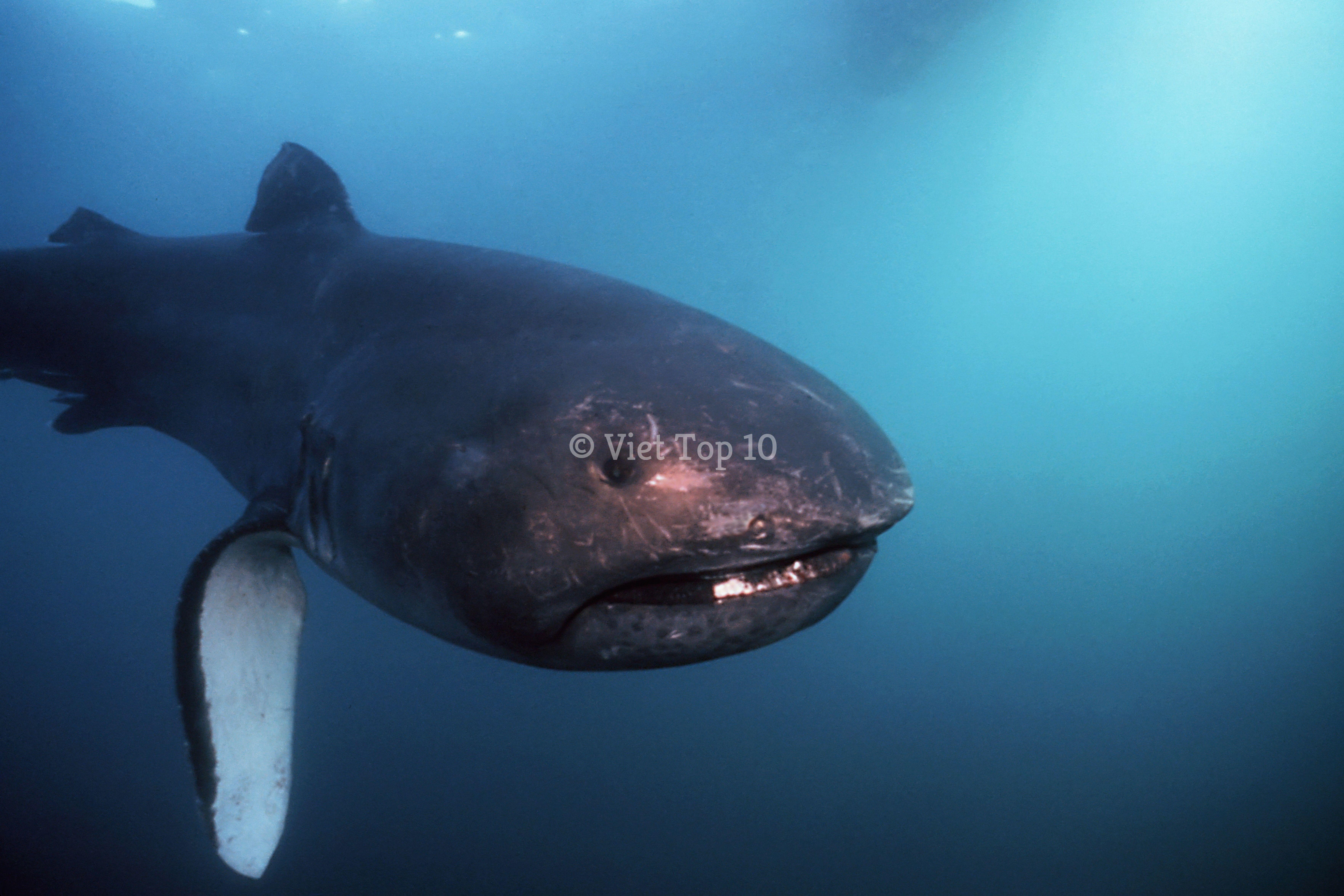 top 10 loài cá mập quái dị nhất dưới đáy đạitop 10 loài cá mập quái dị nhất dưới đáy đại dương - việt top 10 - việt top 10 net - viettop10 dương - việt top 10 - việt top 10 net - viettop10