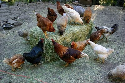 Our chickens like to forage into the woods find their greens. We feed our chickens a lot of seeds and grains, but in hot weather we ...