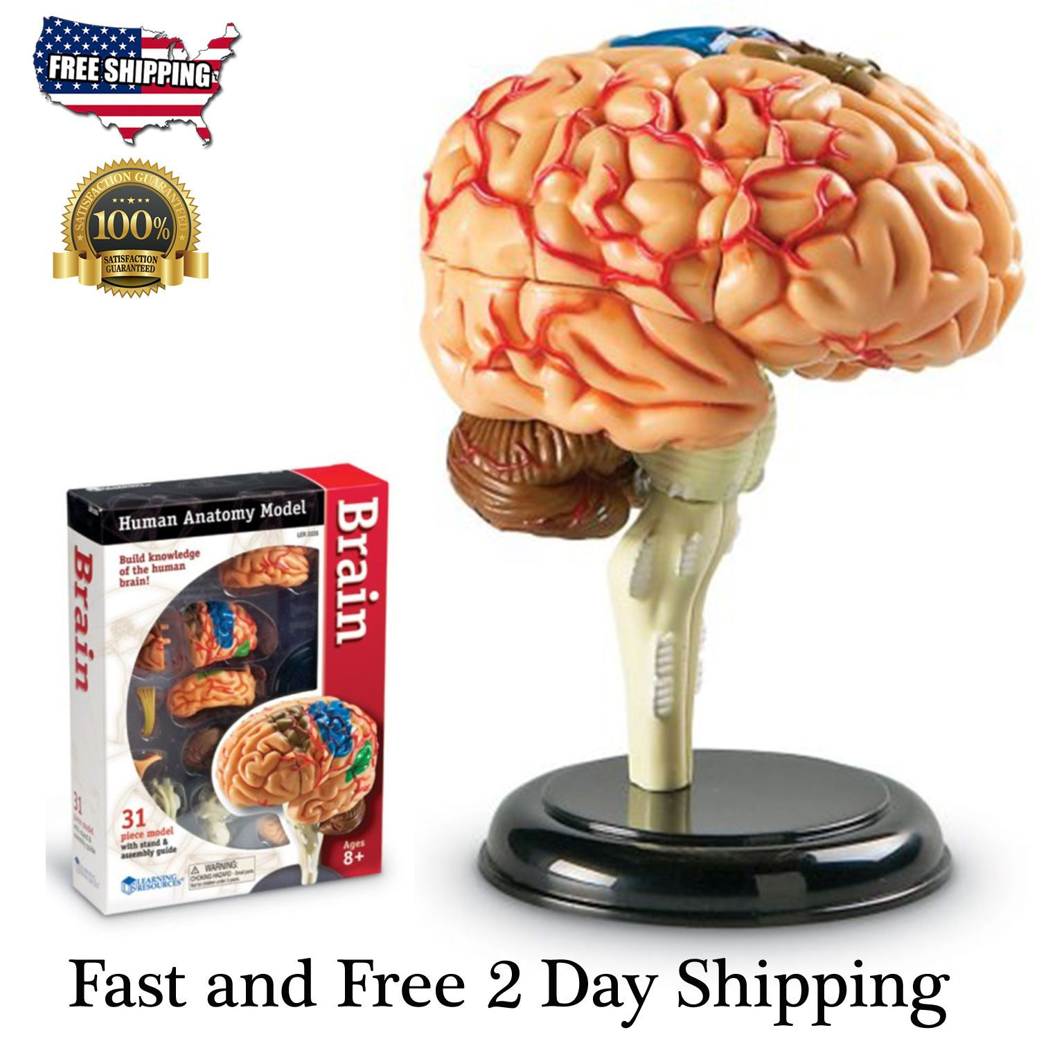 Brain Learning Model Human Resources Anatomy Cross Section Medical ...