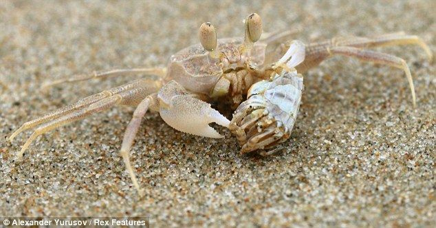 A Crustacean S Creation The Incredible Sand Ball Galaxies Of The Tiny Beach Crab Crab Sand Beach