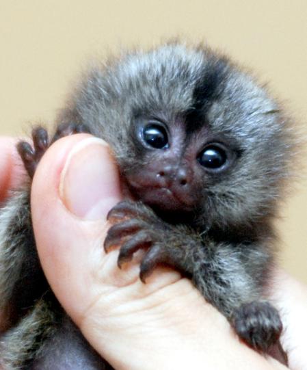 Marmoset Monkey Marmoset Monkey Cute Fluffy Puppies Animals Beautiful