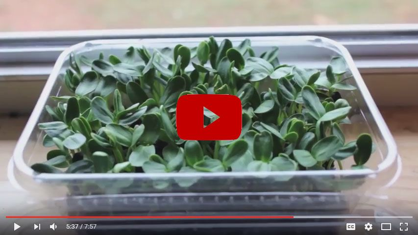Sprouting Micro Greens
