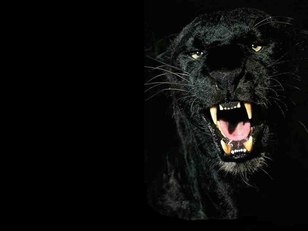 Google Image Result For Http Www Wallpaperpimper Com Wallpaper Animal Wild Ca Animals Beautiful Black Animals Animals Wild