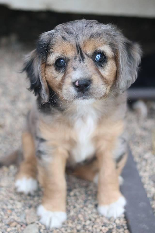 Aussalier Aussie Cavalier Mix Mini Aussie Mix Merle Puppy Www