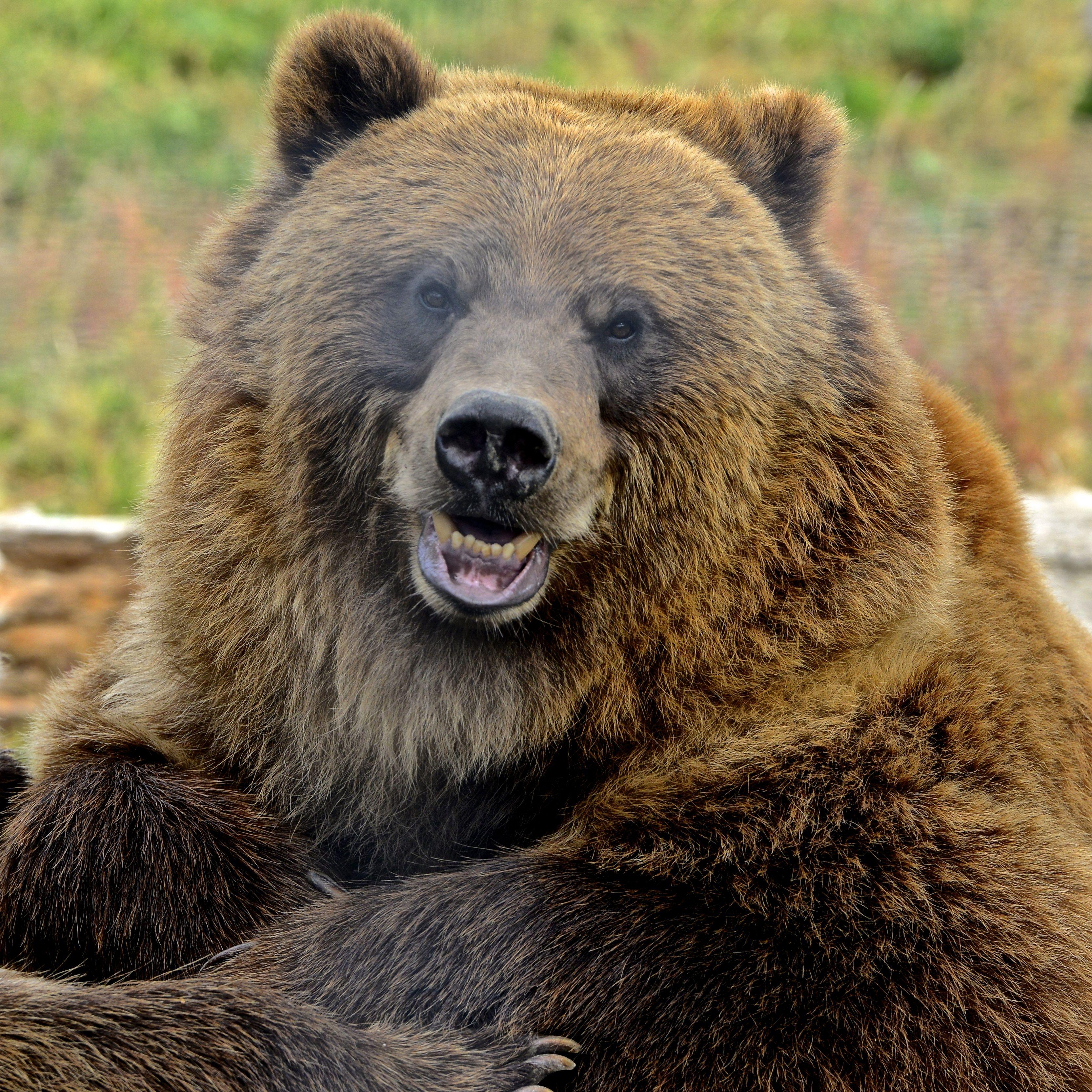 Улыбка медведя картинка