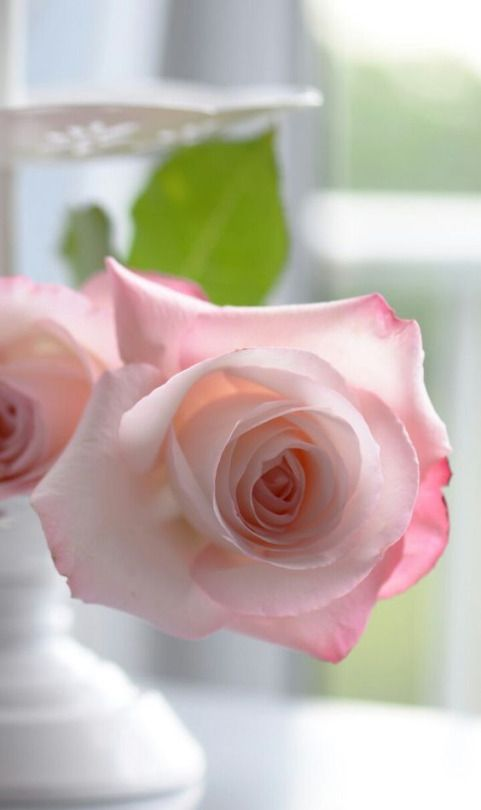 rosecottage.quenalbertini: Pink Rose | A Positively Beautiful Blog
