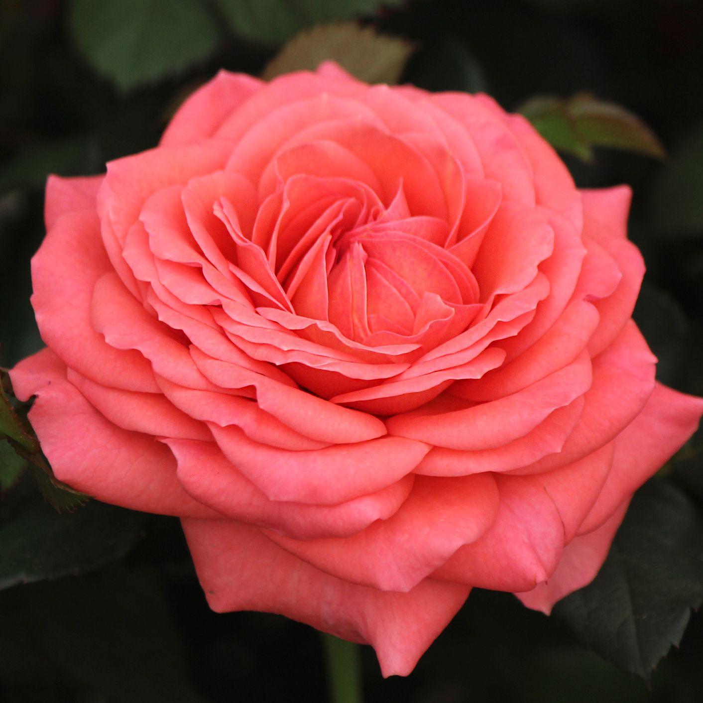 Rocket Farms mini roses Mini roses, Rose, Rose of sharon