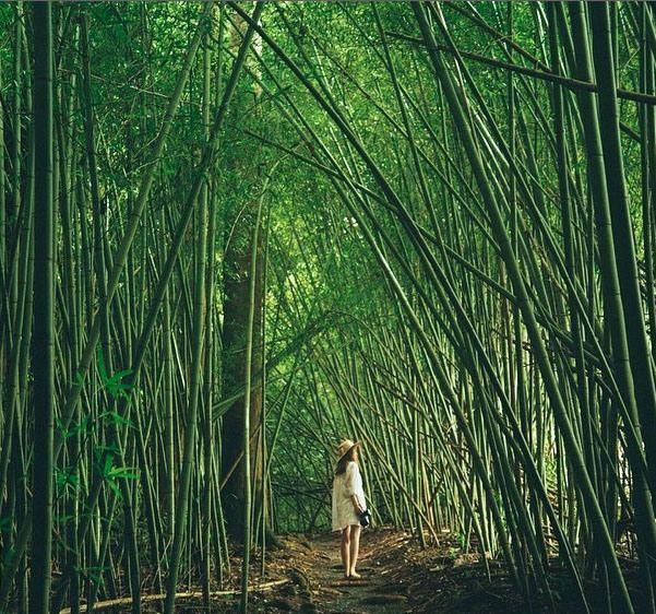 Paronella Park in Pictures: Bamboo grove at Paronella Park, Queensland, Australia. Photo: NoDoTel_