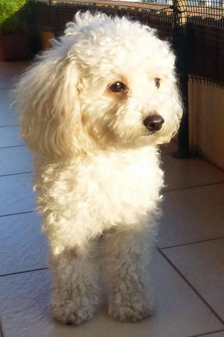 Camila The Toy Poodle Perros French Poodle Perros Caniches