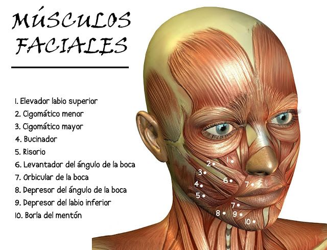 MÚSCULOS FACIALES | Dental anatomy | Pinterest | Musculos faciales ...