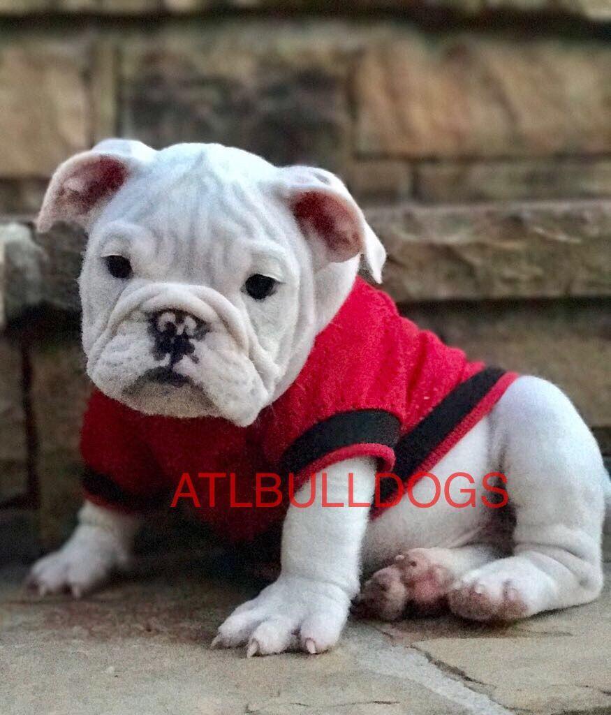 Akc English Bulldog Puppy Bulldog Bulldog Puppies For Sale Bulldog Puppies
