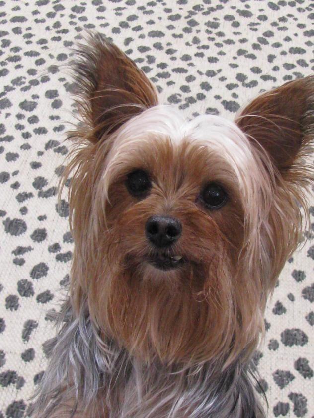 Adopt Queenie On Petfinder Yorkshire Terrier Yorkie Pet Finder