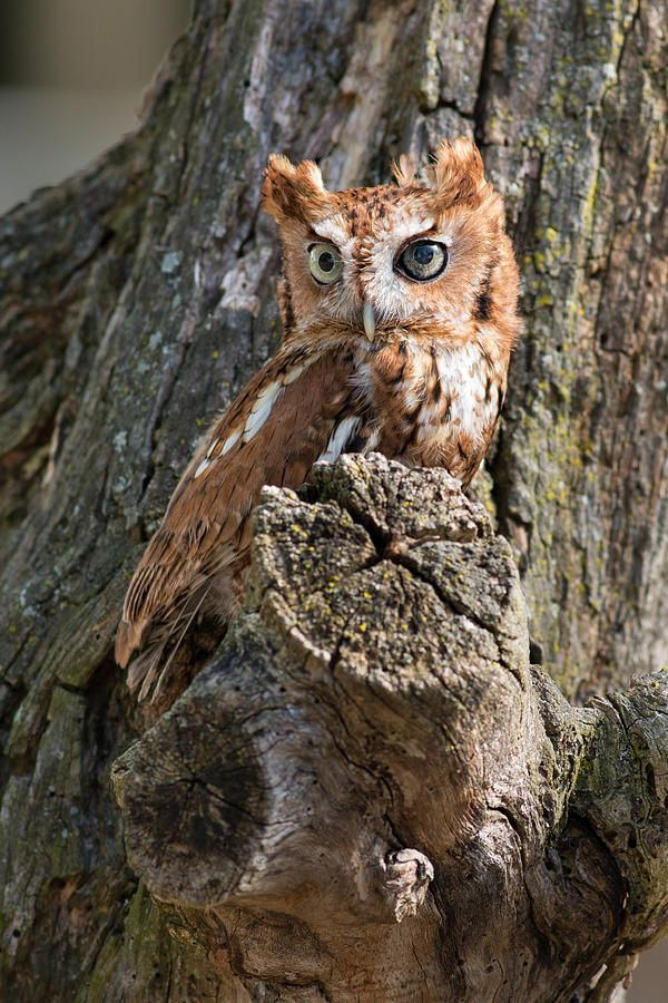 Red Eastern Screech Owl | Screech owl, Owl, Beautiful owl