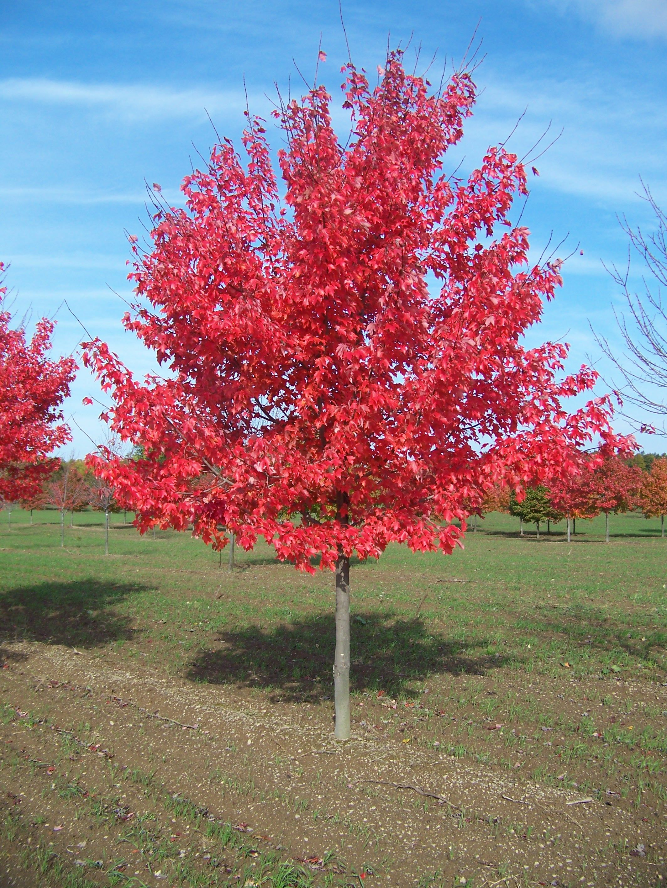 Ahorn October Glory Acer Rubrum Google Search Trees Canopy Red Sunset