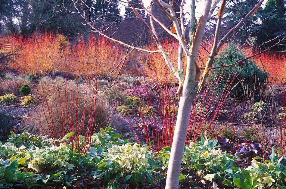 Winter Garden Ideas Uk Part - 25: The Winter Garden At Bressingham Gardens, Norfolk, UK, March, Late Winter.