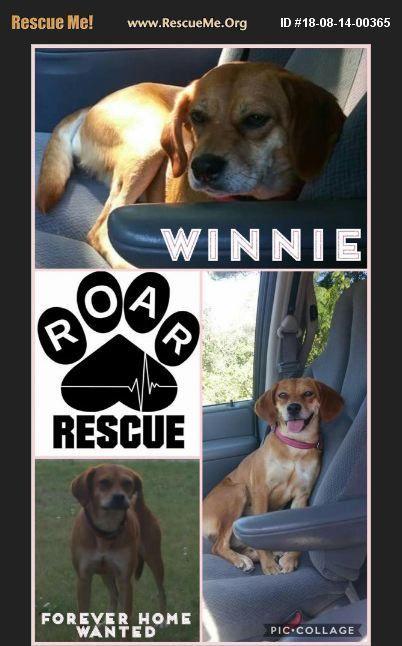 Adopt 18081400365 Beagle Rescue Beaverton Mi Beagle Dogs