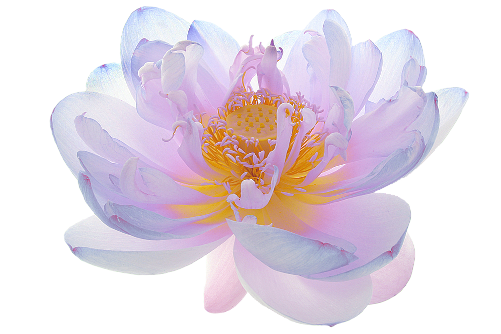 Pin by Niet. on Tree. Lotus flower pictures, Types of