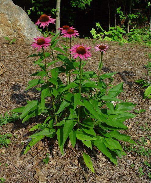 Echinacea Coneflower Echinacea Purpurea Echinacea Medicinal Plants