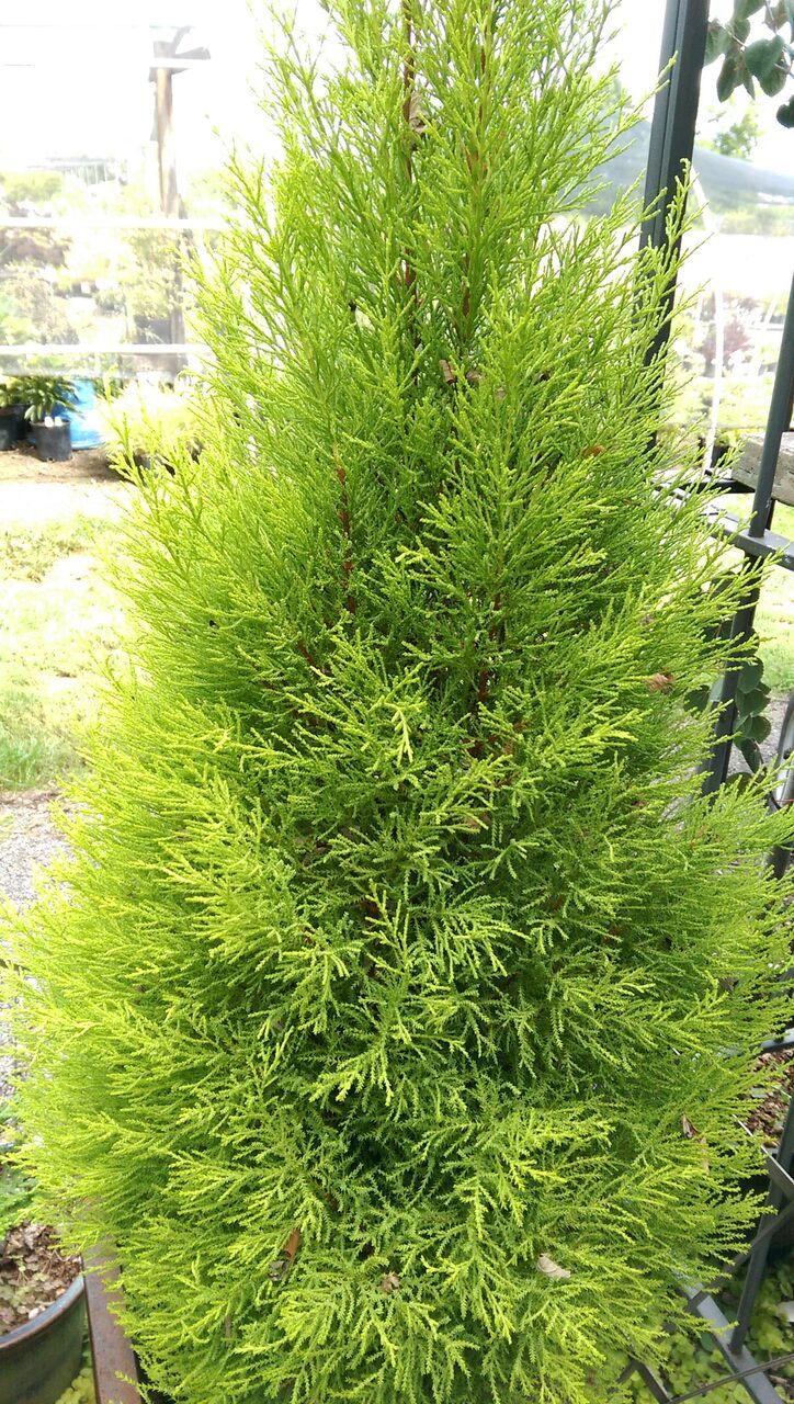 cupressus macrocarpa u0027wilma goldcrest u0027 by secret garden growers