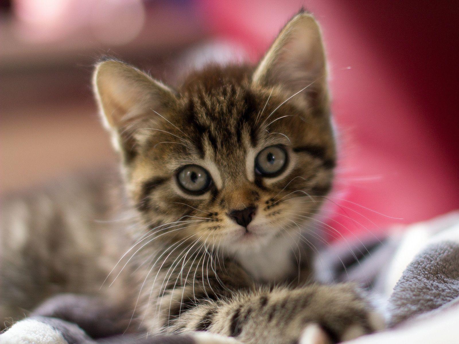 Chaton mignon, visage attrayant, les yeux, les oreilles ...
