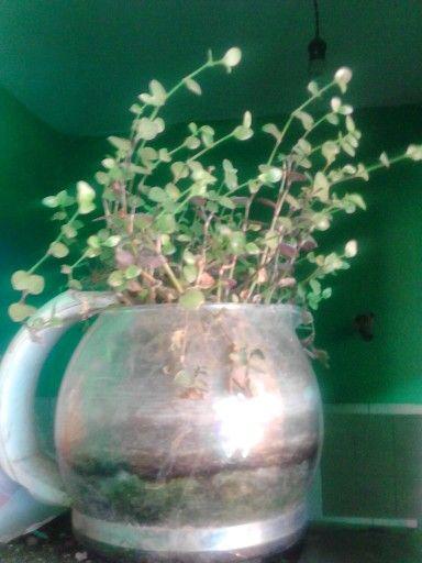 Cafetera vieja: hogar de plantas--