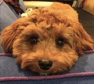 Petit Jean Puppies Goldendoodle Puppies For Sale Cavapoo And