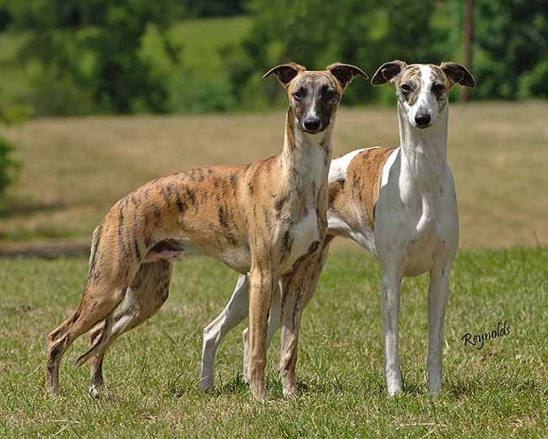 12 Dog Breeds for Indoor Pets - The-GreyHound