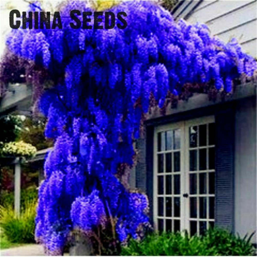 Wisteria Seeds 10pcs Wisteria Vine Saplings Bonsai Upscale Vegetable Garden Plan In 2020 Wisteria Tree Planting Flowers Wisteria Bonsai