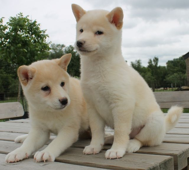 shiba inu puppies | wil u een shiba inu kopen? :: kies en koop een