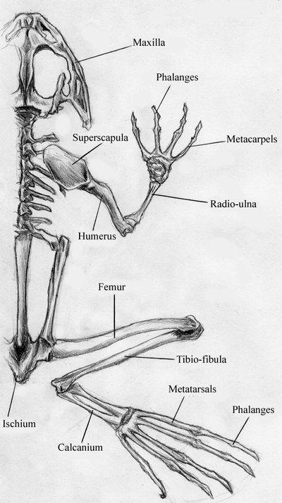 scientificillustration: Bullfrog Skeleton by