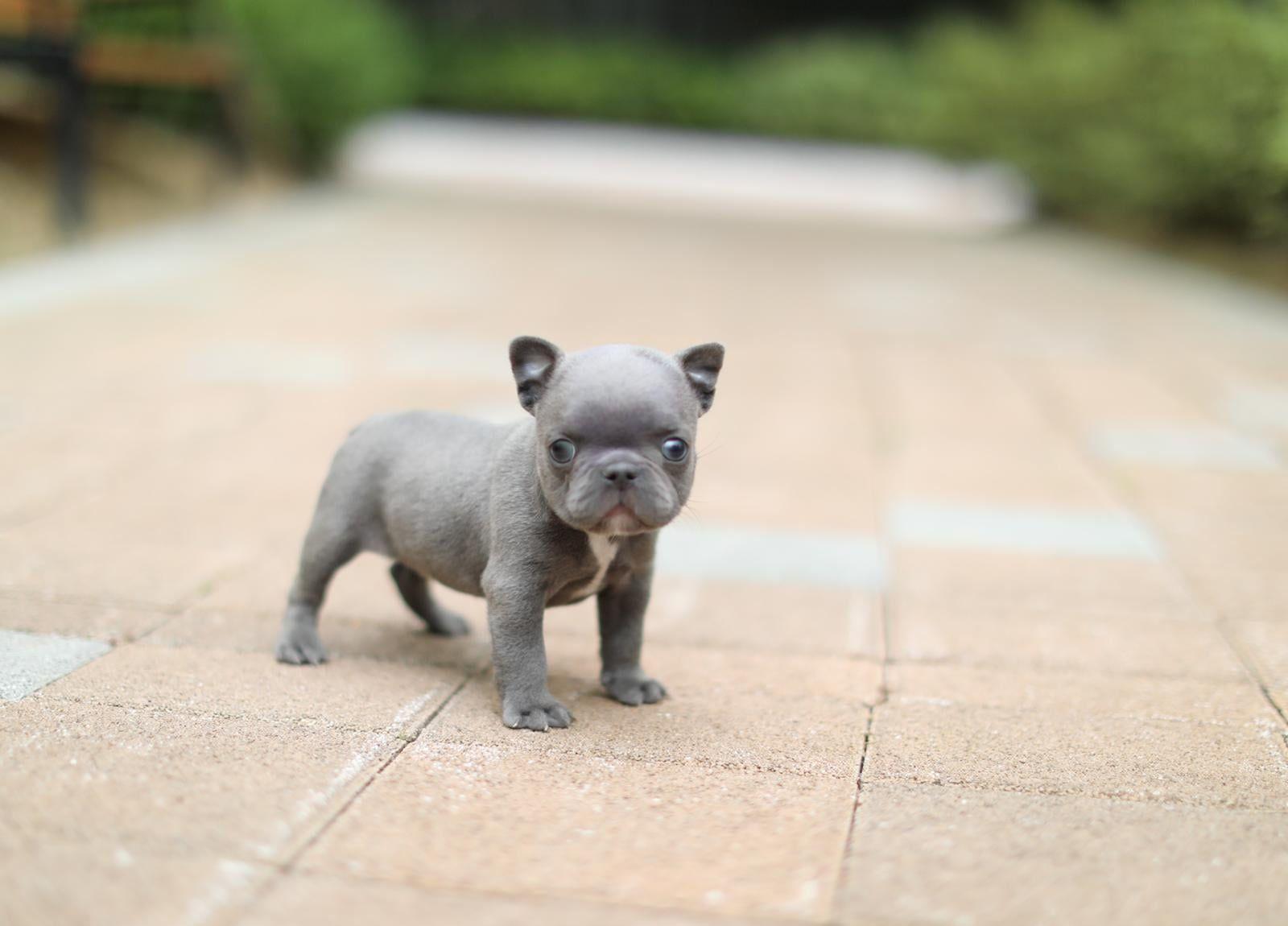 rocky mini blue french bulldog puppy available ~ 1-888-743-0325