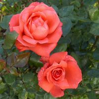 Rose 'Ave Maria' -R- TH III :: Edelrosen ::