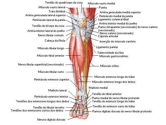 Aula de Anatomia - Sistema Muscular - Perna http://www ...