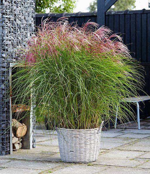 Miscanthus Red Cloud®: 1A-Gräser kaufen | BALDUR-Garten