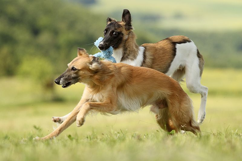 Pin On Dogs Hounds Hunting Breeds
