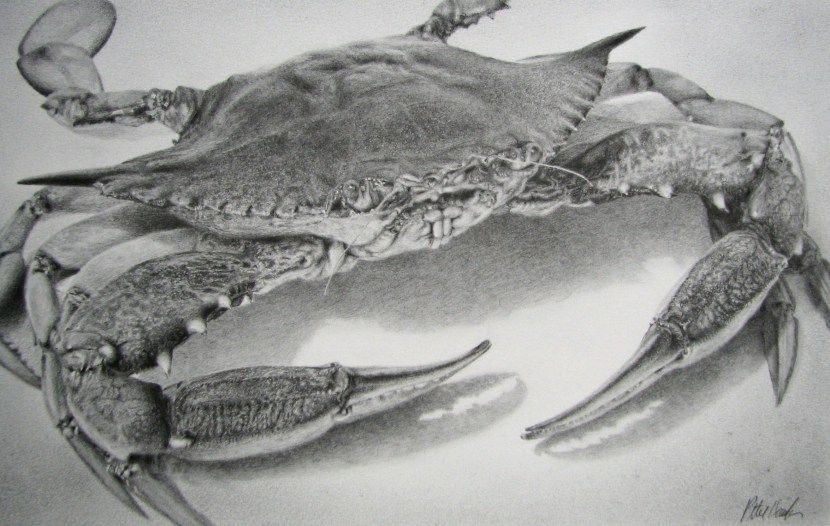 Maryland Blue Crab Pencil Drawing Pencil Drawings Blue Crabs