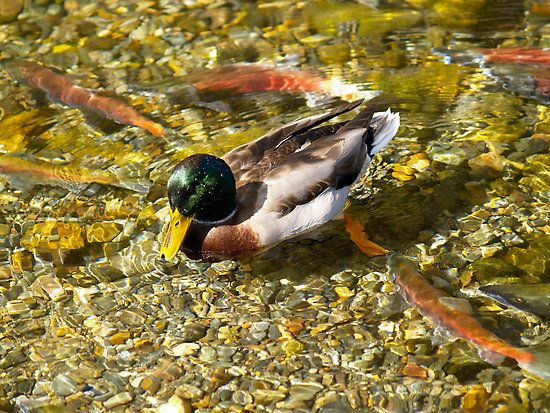 This duck would go around and dig up the salmon eggs that had just been laid. Free sushi!  Taylor Creek, Lake Tahoe, CA