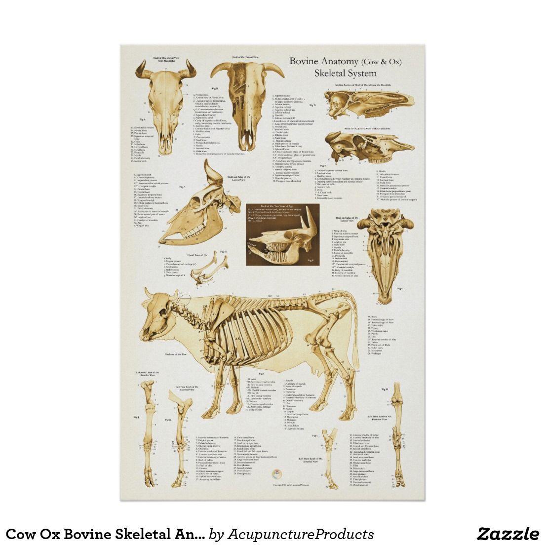 Poster Affiche squelettique bovine d\'anatomie de boeuf de   Pinterest