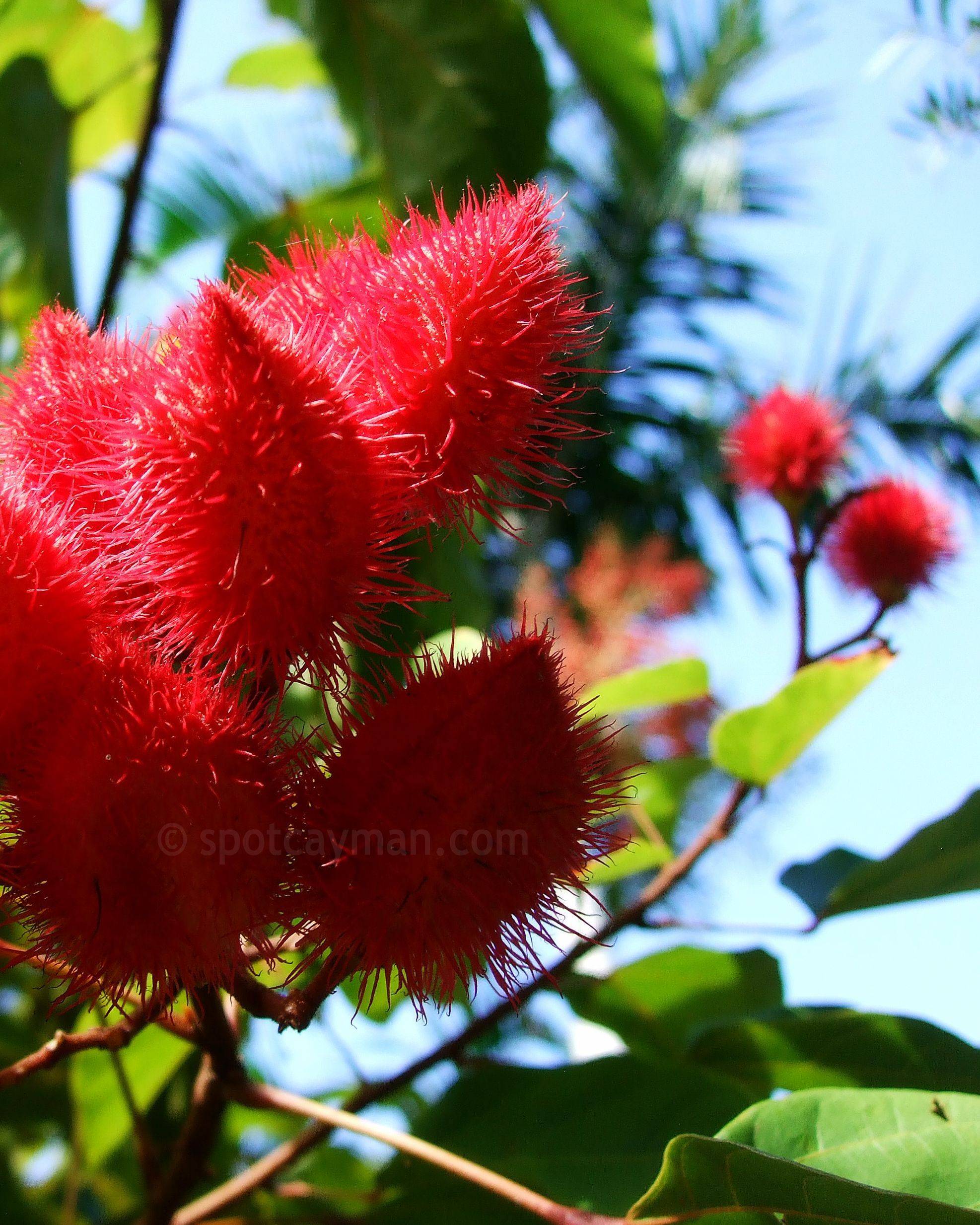 Annatto [Bixa orellana] at the Queen Elizabeth II Botanic Park in Cayman Island