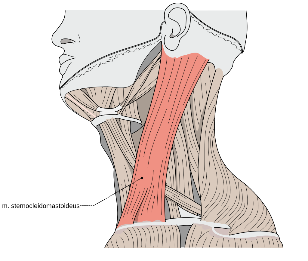 The Sternocleidomastoid Muscle - a culprit of widespread muscle pain ...