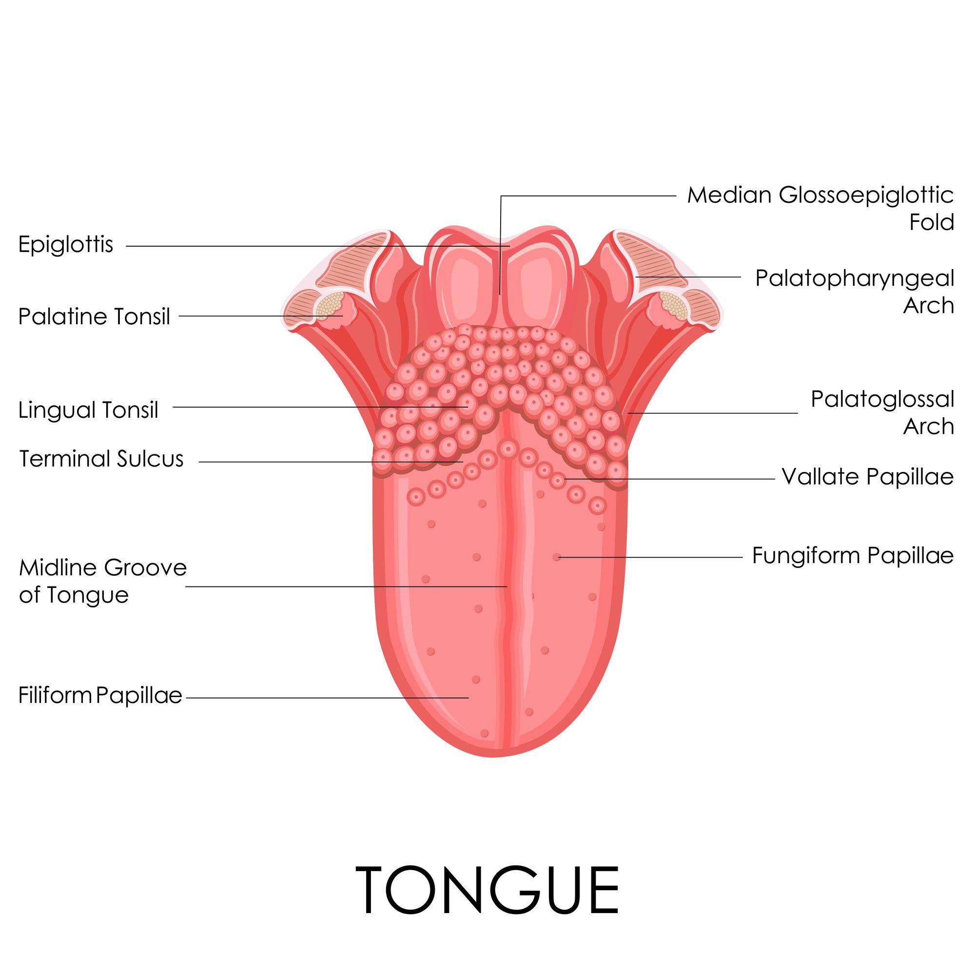 Human Tongue Anatomy | Anatomy | Pinterest | Human tongue and Anatomy