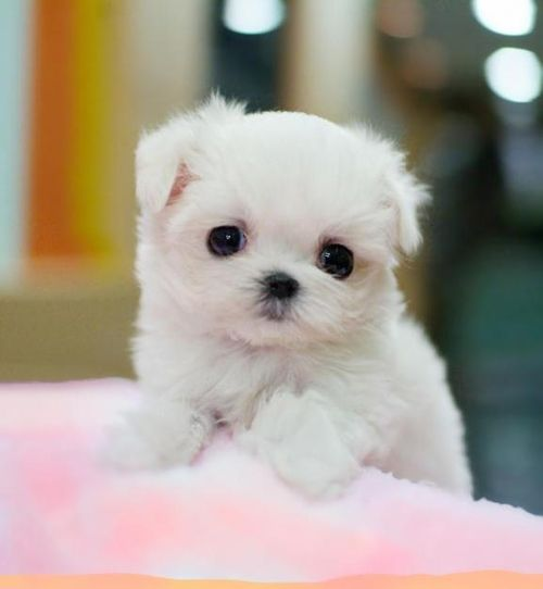 Gorgeous Lil Baby White Dog With Black Eyes Looks Like A Lil