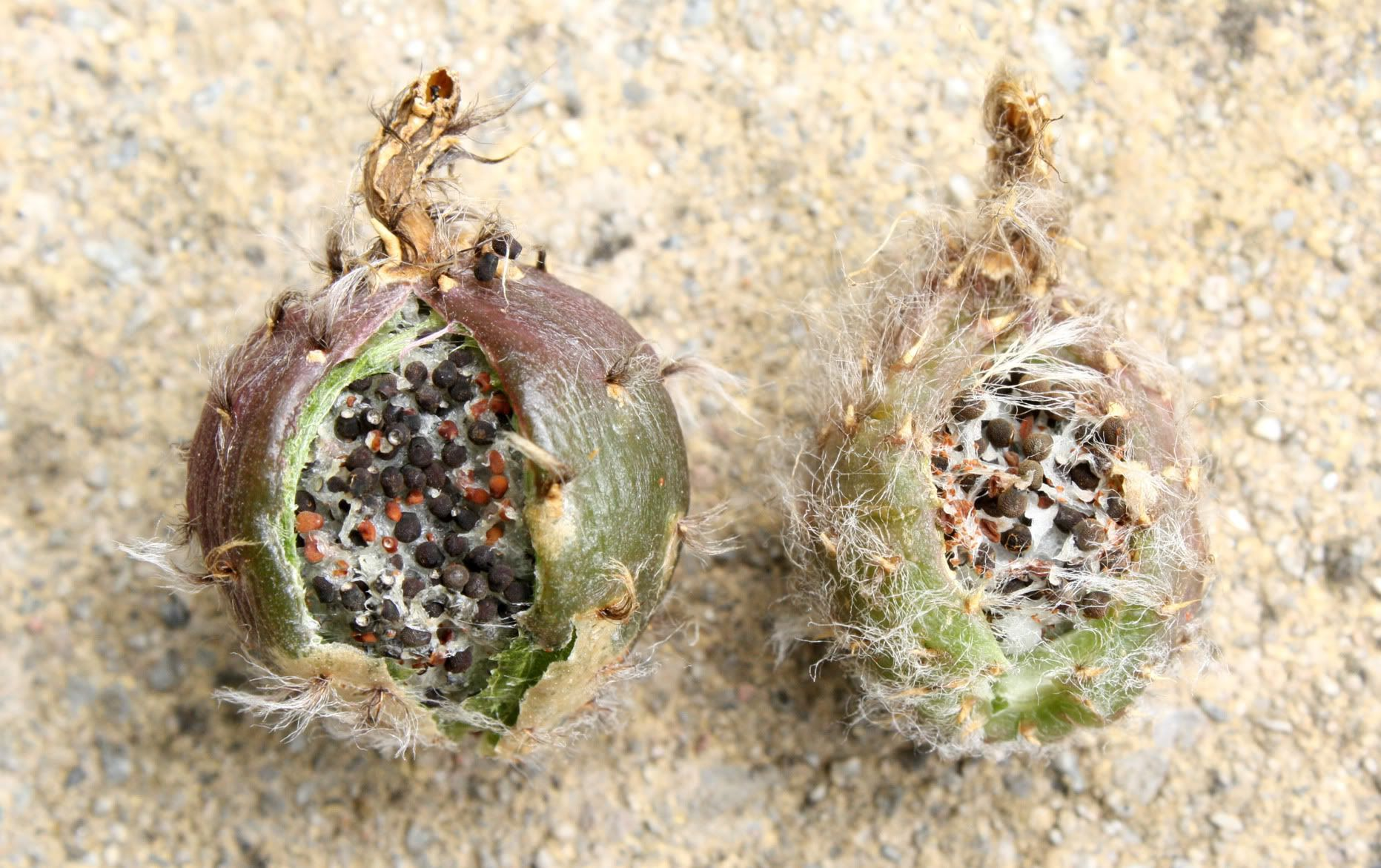 Echinopsis seed pods