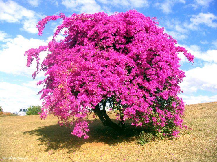Famosos Ipê Azul Árvore - Bing images | Florestas | Pinterest | Ordem  LO37