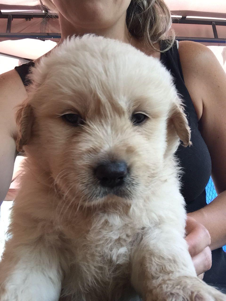 Goldador Puppy 4 Weeks Old Golden Retriever X Labrador Puppies