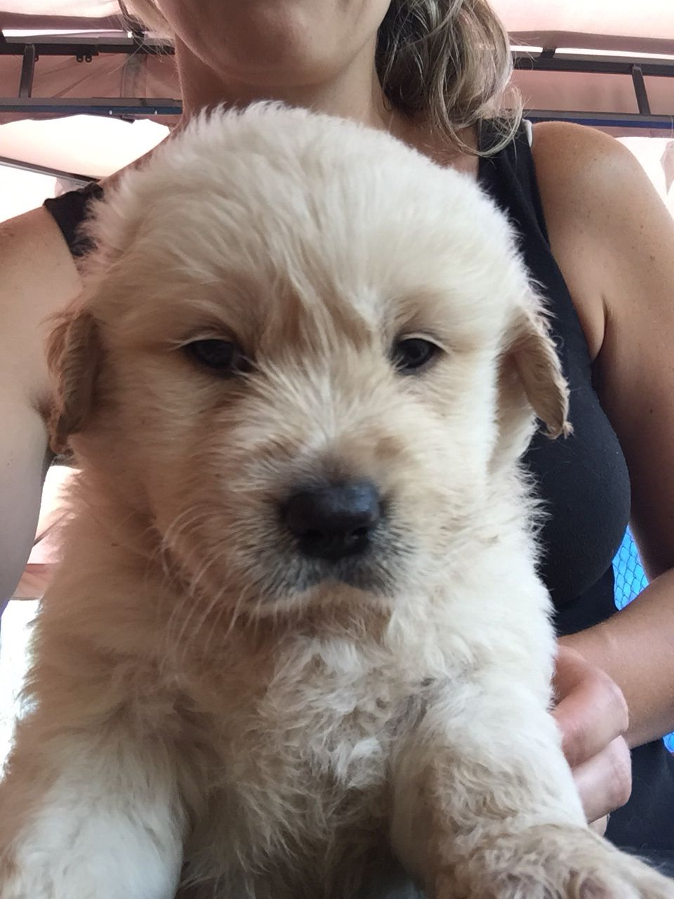 Goldador Puppy 4 Weeks Old Golden Retriever X Labrador Woof