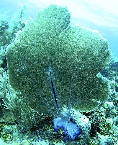 Perfect sea fan of Bonaire