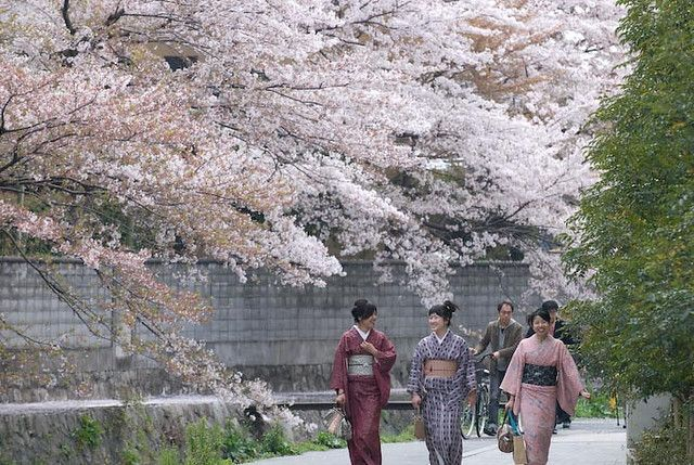 Where Is The Best Place To See The Cherry Blossoms In Kyoto Cherry Blossom Japan Hanami Cherry Blossom