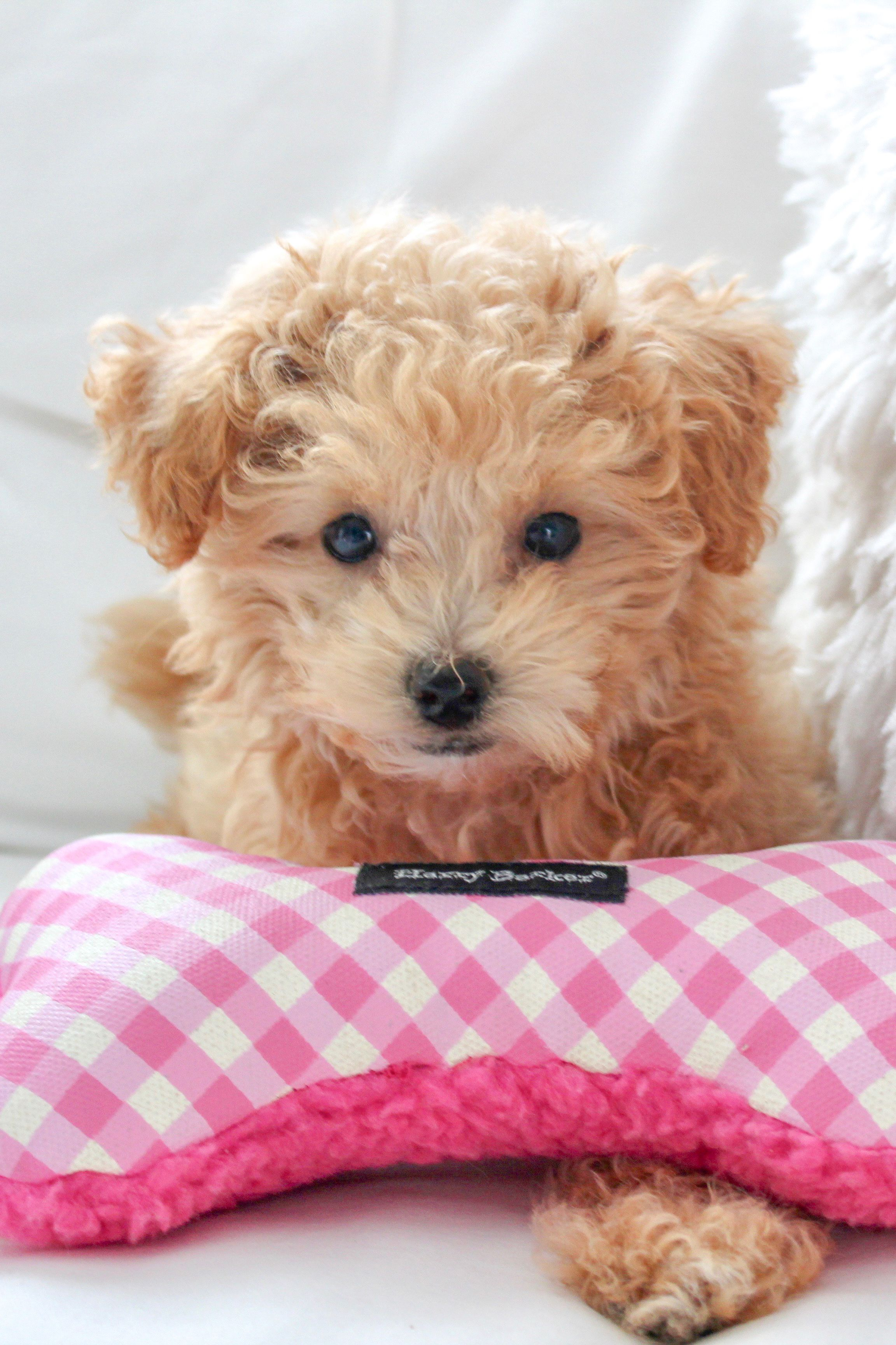 Ranger S Must Have Puppy Products Maltipoo Puppy Maltipoo Puppies
